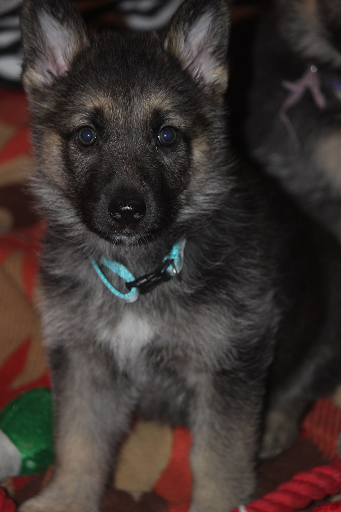 German shepherd puppies for sale in Michigan