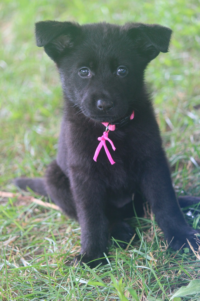 Solid Black German Shepherd female for sale Browning Haus German Shepherds