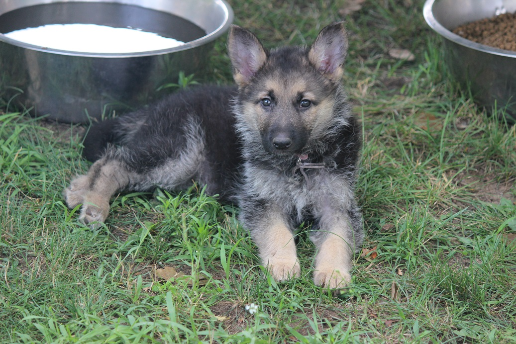 german shepherd puppies for sale from Browning haus german shepherds