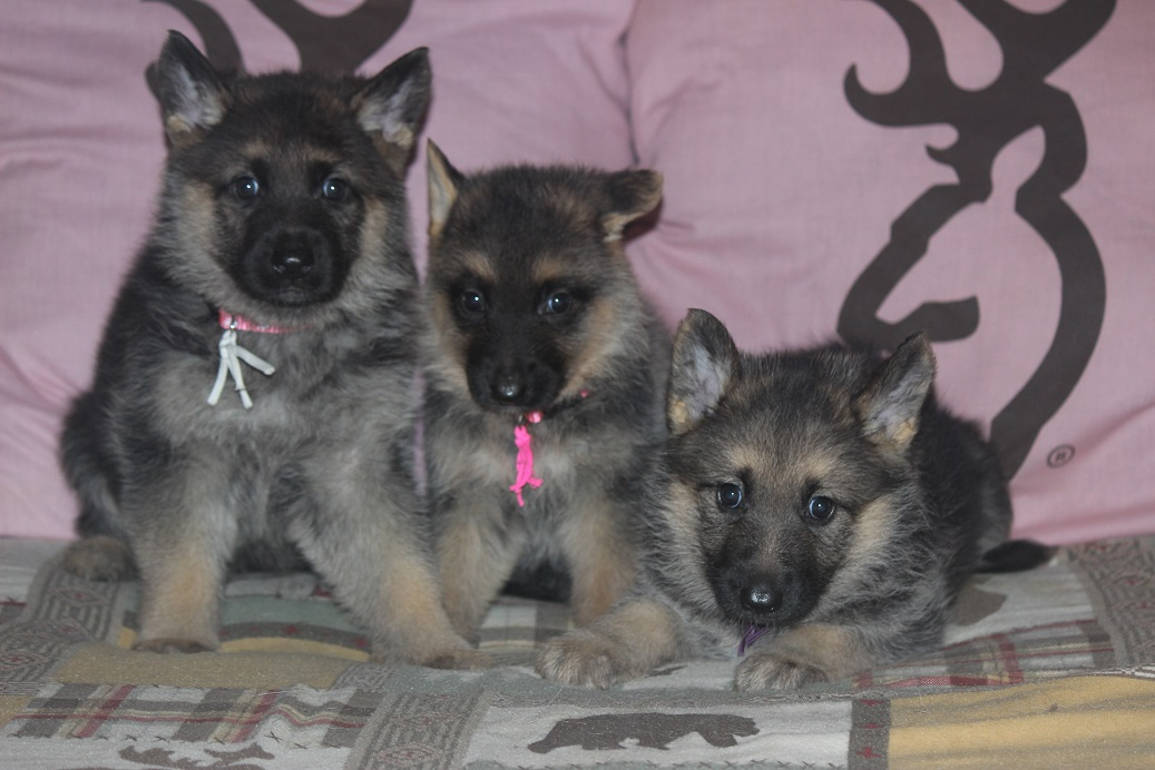 Browning Haus German Shepherds has puppies for sale