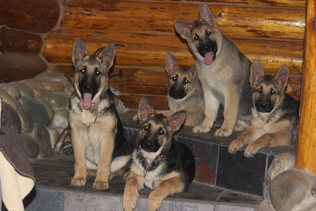 german Shepherd puppies for sale Michigan
