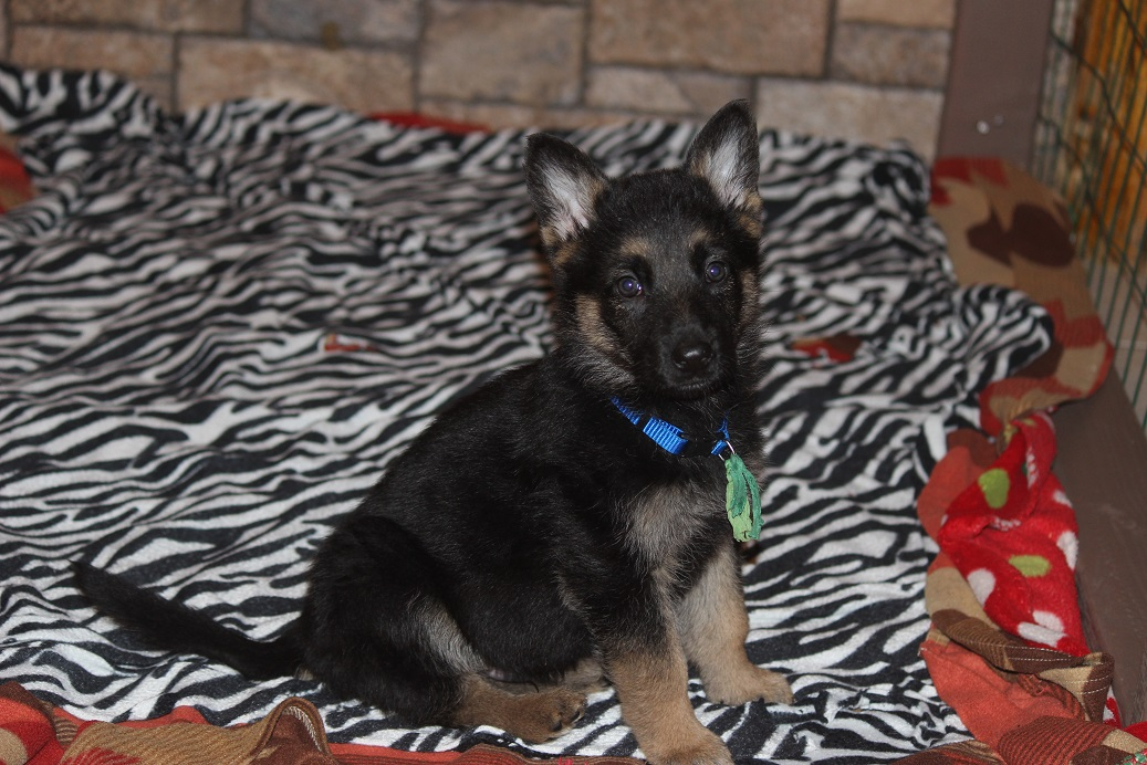 German Shepherd puppy for sale from Browning Haus German Shepehreds