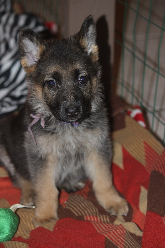 German Shepherd female from Browning Haus available today