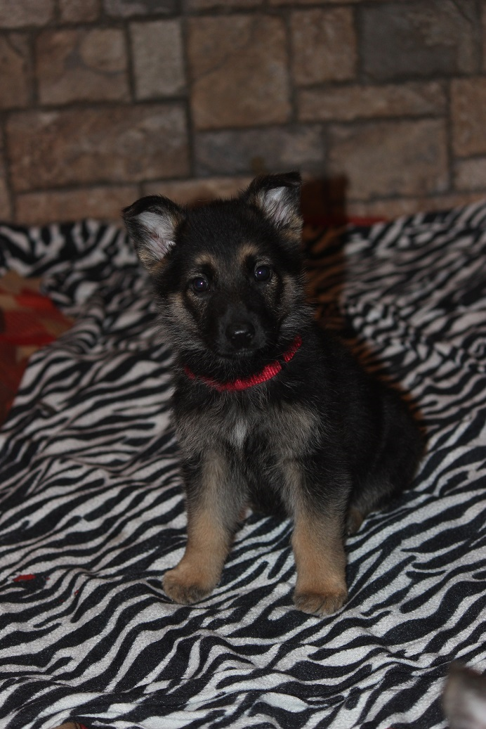 Browning Haus puppy for sale
