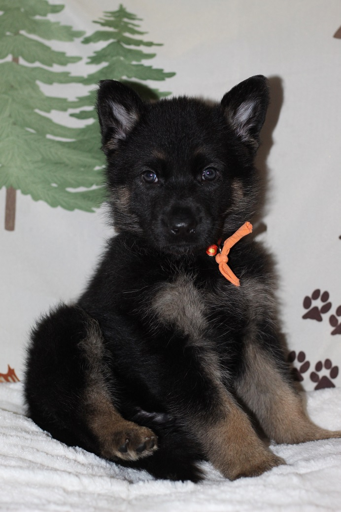 German Shepehrd puppies for sale michigan