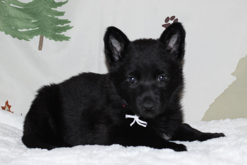 Black German Shepherds for sale
